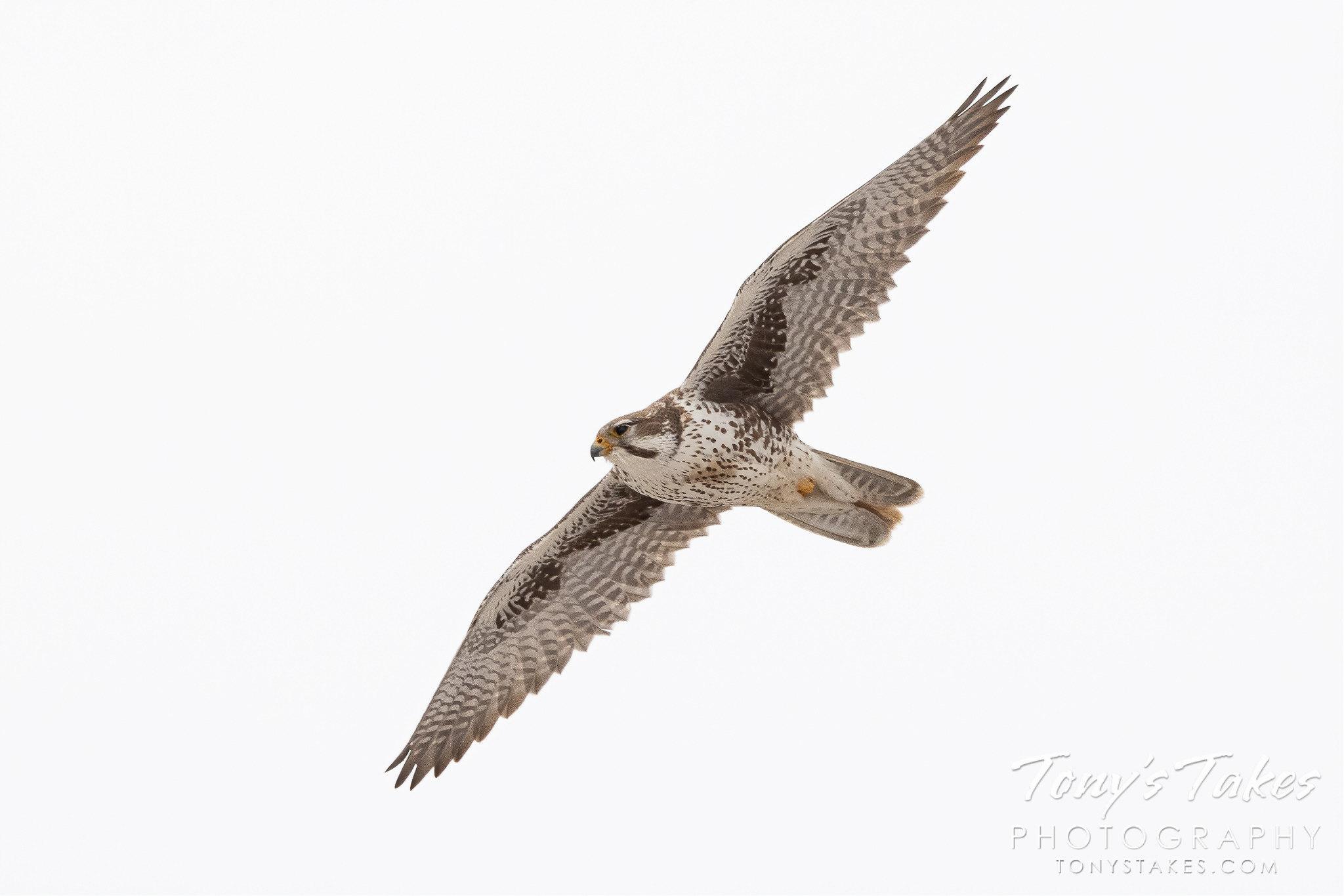 Prairie falcon hunts a field