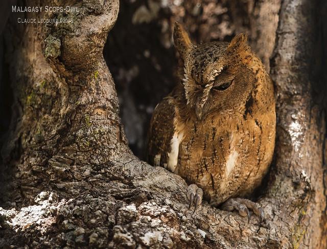 Malagasy_Scops-Owl_WEB_2U6A9271