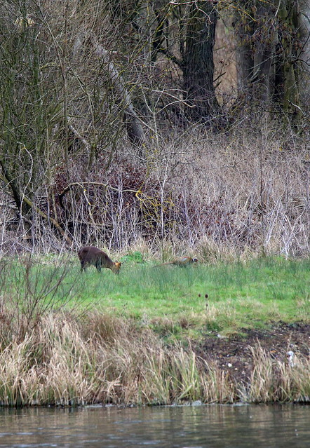 Muntjac and pheasant on the far bank