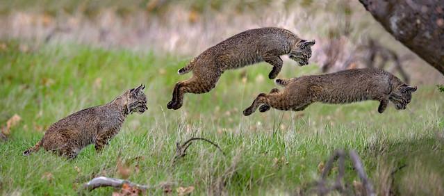 Bobcat Attack!!