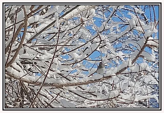 Chickadee Among New Fallen Snow