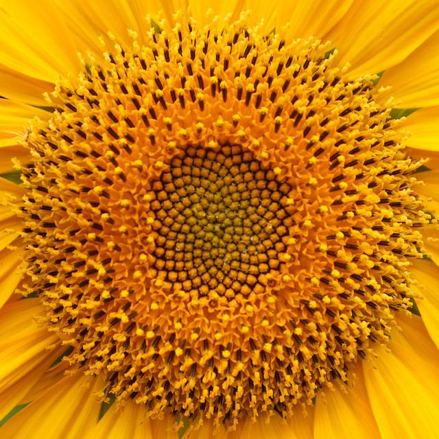 Sunflower Centre (056/365)
