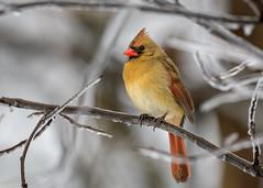 cardinal ice.jpg