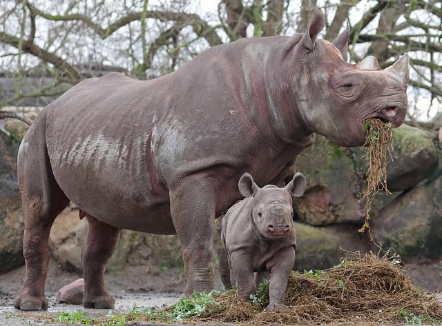 black rhino Naima and Nasor Blijdorp 9K2A8465