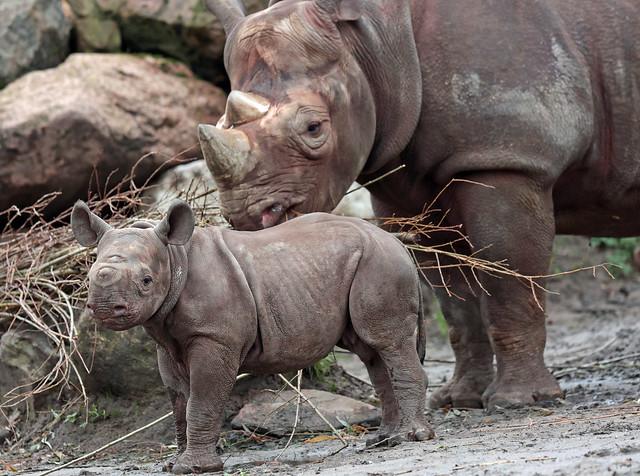 black rhino Naima and Nasor Blijdorp 9K2A8883