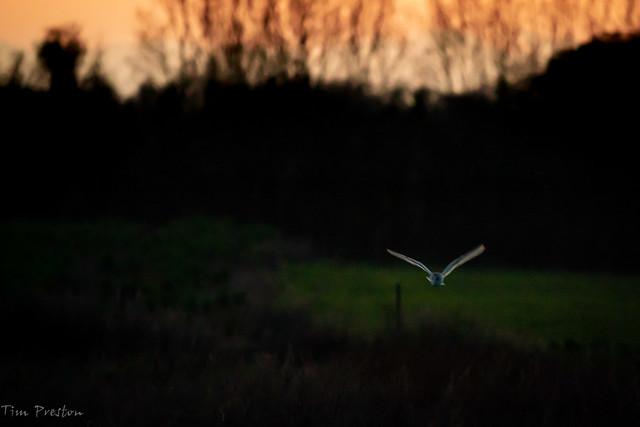 Barn Owl CCL BF-1-2