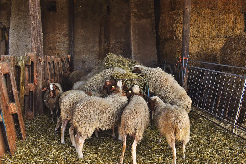 ITALIAN SHEEPS- COMISANA Lunch  Time- Explore 26-2-21