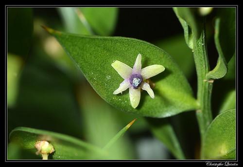 Petit houx (Ruscus aculeatus)