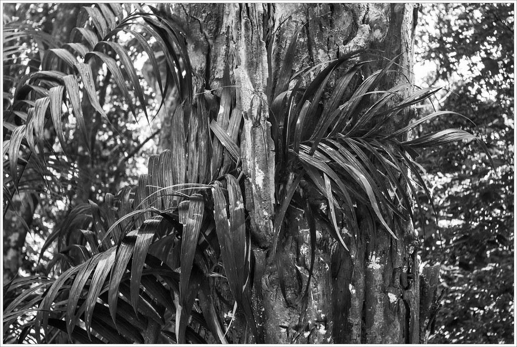 Palmeira e pau-jacaré