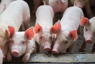 "Since 2010, more than 460 swine-flu variant infections have been reported in humans in the United States. Pigs are susceptible to swine, avian, and human influenza viruses, making them the perfect ""mixing vessel"" for novel reassorted influenza viruses. A new vaccine tested by researchers offers promise for a pan-influenza and possibly pan-coronavirus development."