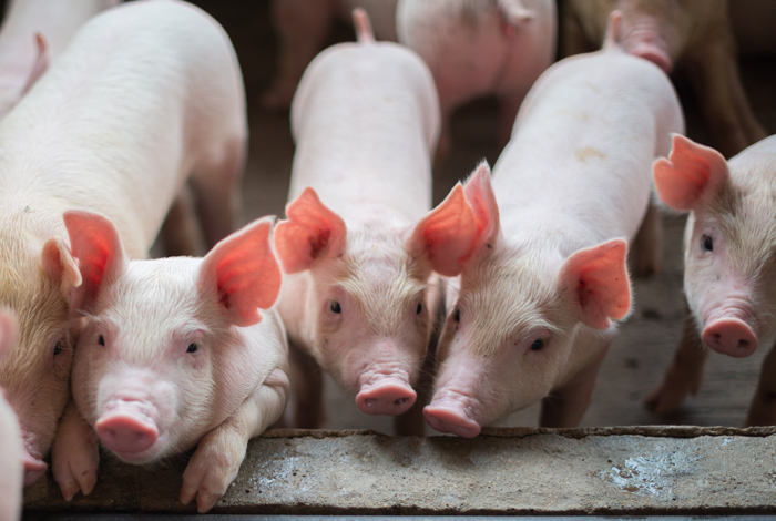 """Since 2010, more than 460 swine-flu variant infections have been reported in humans in the United States. Pigs are susceptible to swine, avian, and human influenza viruses, making them the perfect """"mixing vessel"""" for novel reassorted influenza viruses. A new vaccine tested by researchers offers promise for a pan-influenza and possibly pan-coronavirus development."""