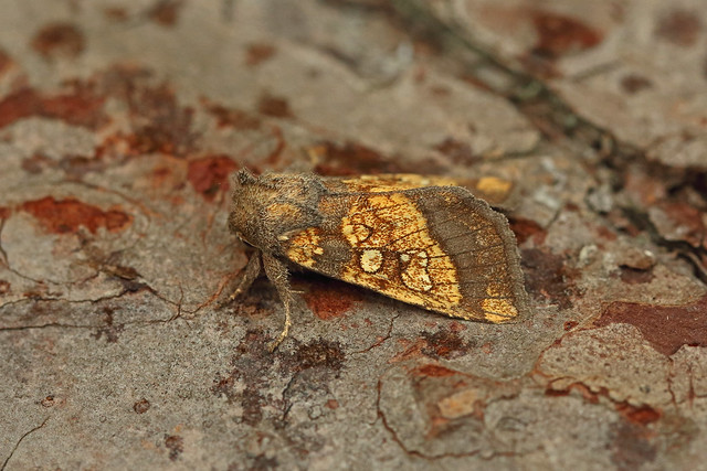 73.121 Frosted Orange (Gortyna flavago), Burntisland, Fife