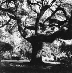 Tree At Congo Square