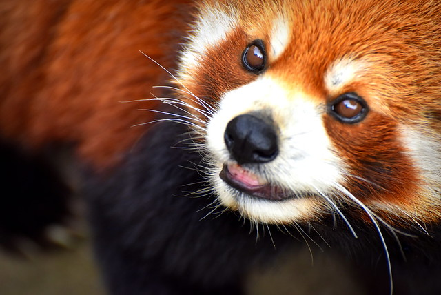 Red panda close portrait