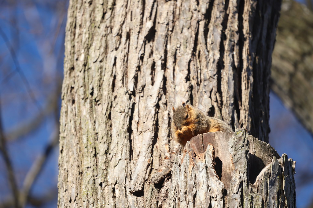 Fox Squirrels in Ann Arbor at the University of Michigan on February 25th, 2021