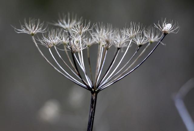 Hogweed seedhead