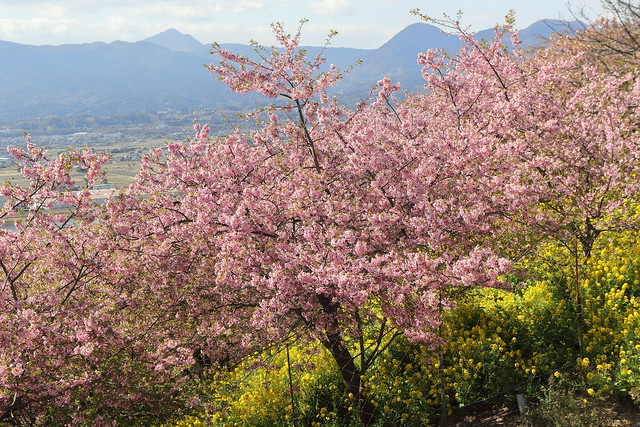 A Mountain of Cherry Blossoms