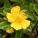IMG_3006 Guinea-flower AI