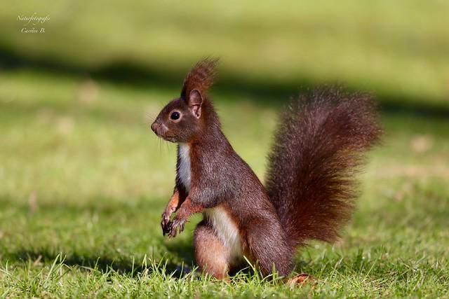 Eichhörnchen - redsquirrel (Sciurus vulgaris)