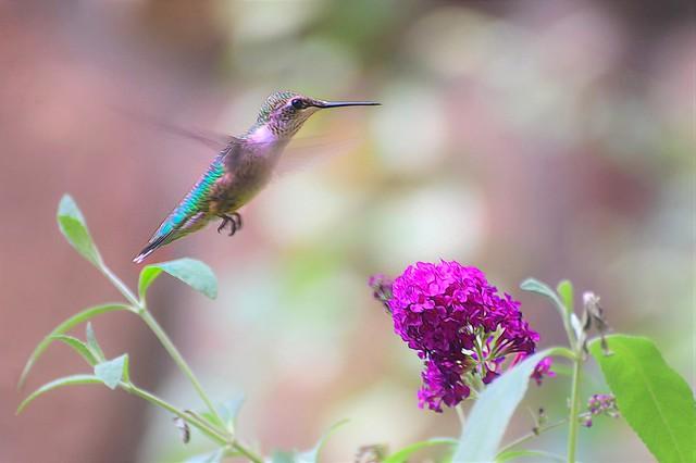 Hummingbird and Buddleia