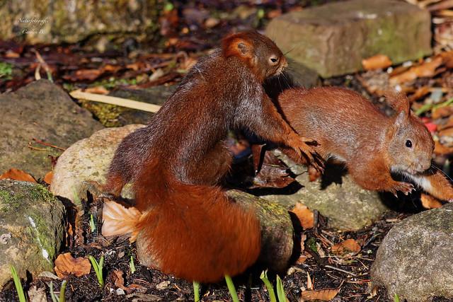 Eichhörnchensquirrel- red squirrel