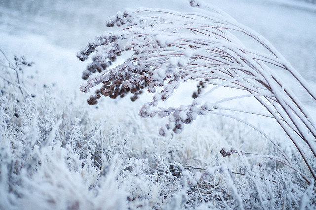 ice-covered plants and grasses
