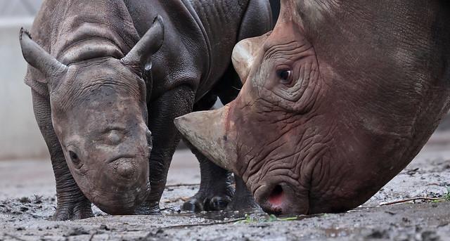 black rhino Naima and Nasor Blijdorp 9K2A9095