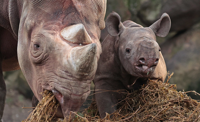 black rhino Naima and Nasor Blijdorp 9K2A8147