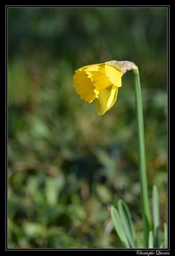 Jonquille (Narcissus sp.)
