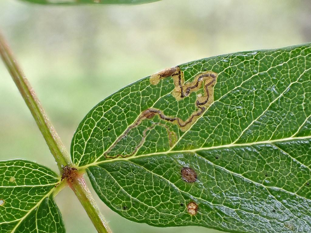 4.024 Stigmella magdalenae, Loch Rannoch, Perthshire