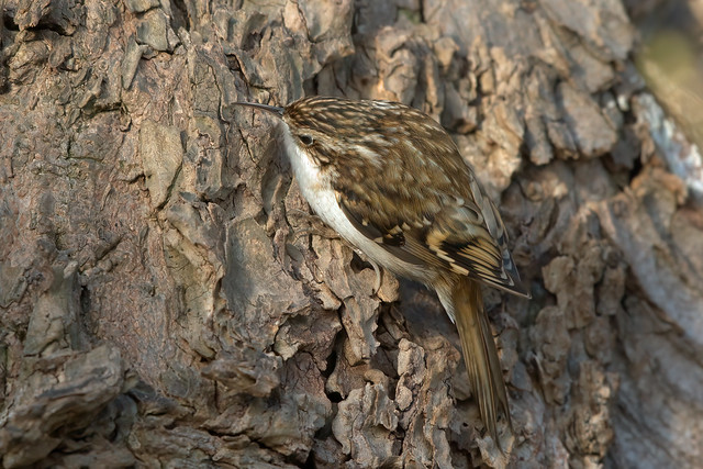 Eurasian Treecreeper, Kirkcaldy, Fife