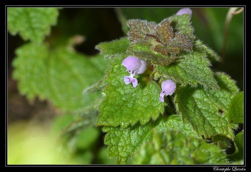 Lamier pourpre (Lamium purpureum)