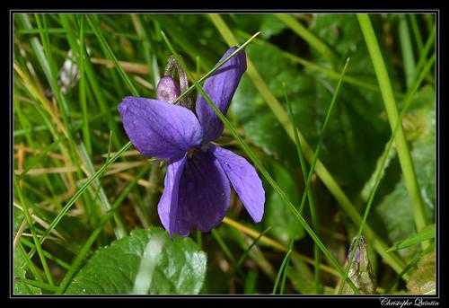 Violette hérissée (Viola hirta)
