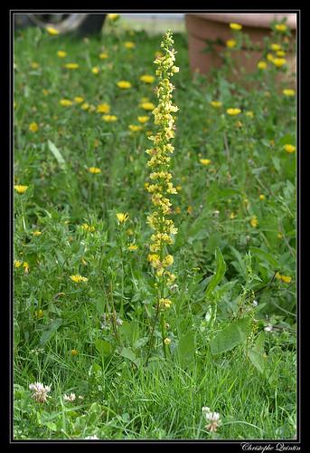 Bouillon noir (Verbascum nigrum)