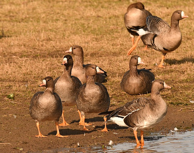 Greater White-fronted Goose (Anser albifrons albifrons)