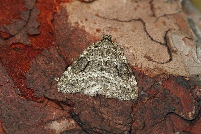 70.110 Small Autumnal Moth (Epirrita filigrammaria), Vane Farm, Perthshire