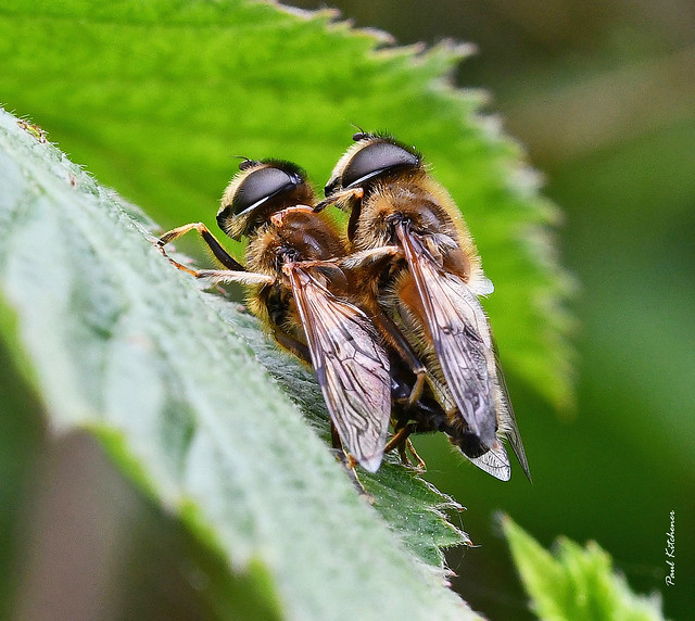Eristalis pertinax (mating pair)