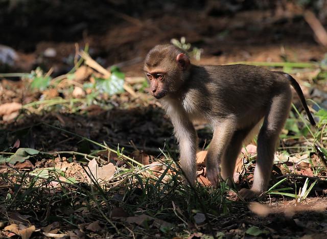 Macaque à queue de cochon du Nord - Khao Yai/Nakhon Ratchasima/TH_20191217_016-1