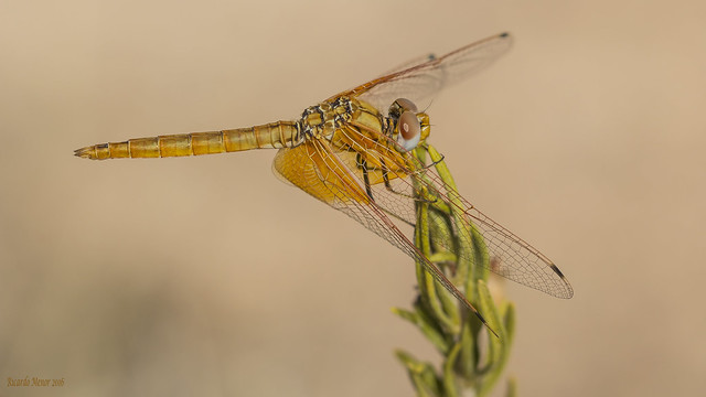 Trithemis kirbyi. Young male