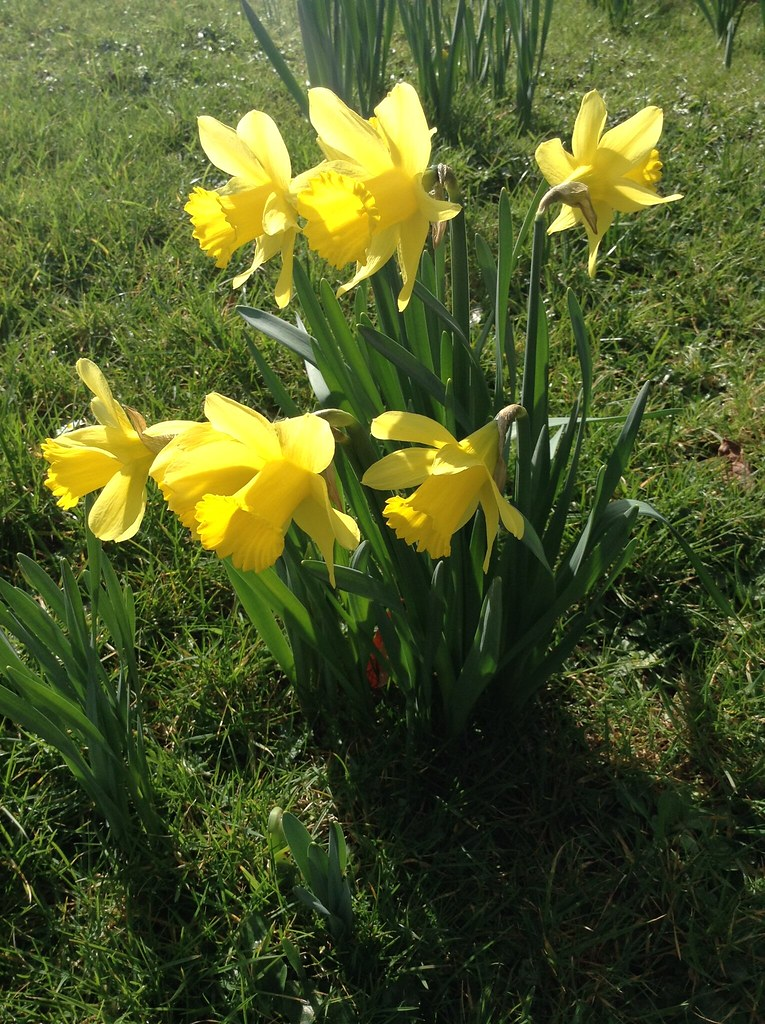 Spring has officially started: The daffodils are out!