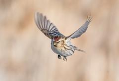Common redoll in flight