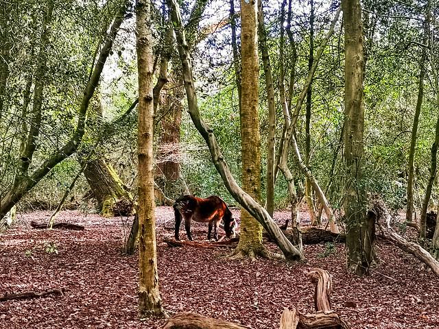 Wild pony, bracebridge, Sutton Coldfield, England