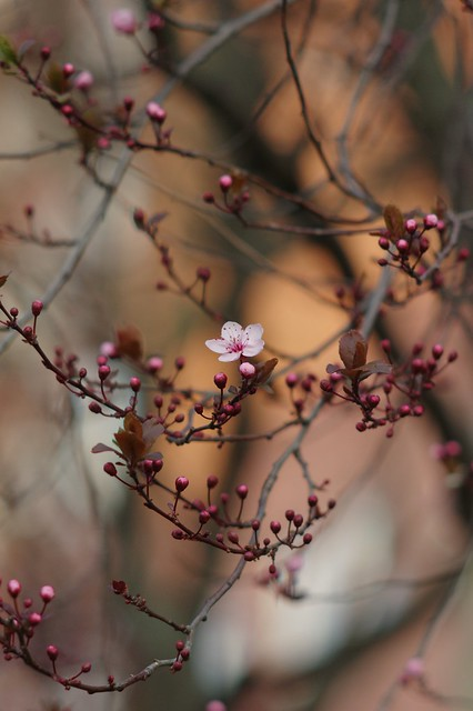 First spring blossoms