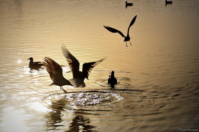 Mouettes sur le lac dans la lumière du soleil levant