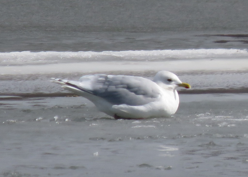 Taylorville Iceland Gull