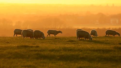 sheep sunset tramonto grass field orange buckinghamshire england