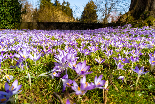 Crocus galore: purple without end (1/3)