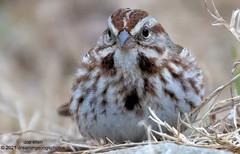 Song Sparrow Lament