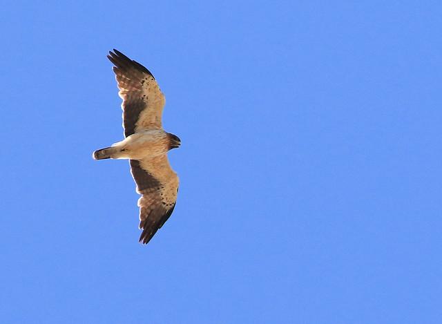 Aigle botté - Karoo One/Western Cape/South Africa_20181202_024-1