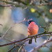 Bullfinch in the garden